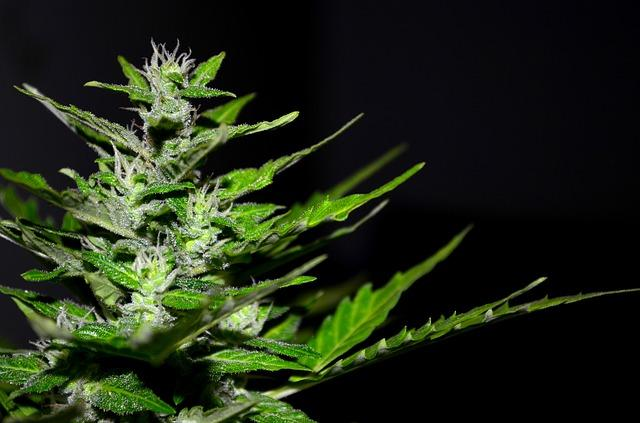 Medizinisches Marihuana in New York
