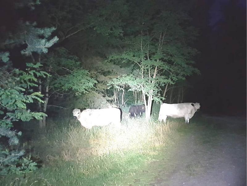 Rinder unternehmen Ausflug