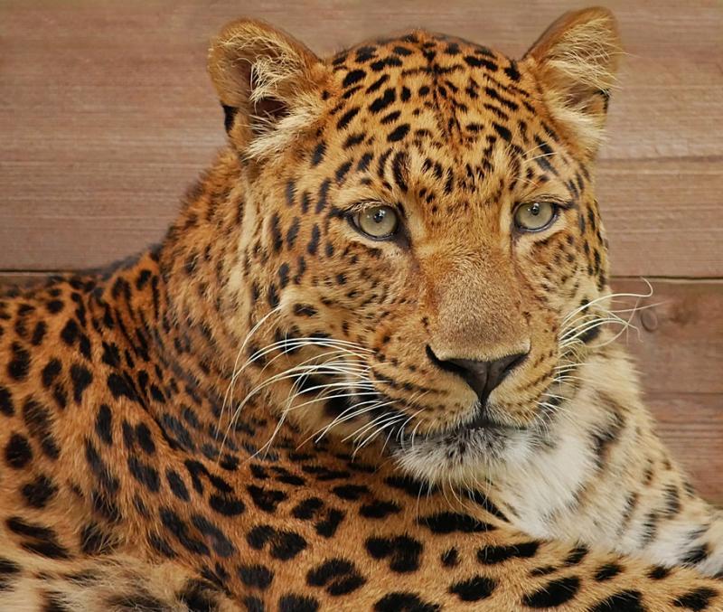 Spendenziel erreicht  Zoo kann neue Leopardenanlage bauen