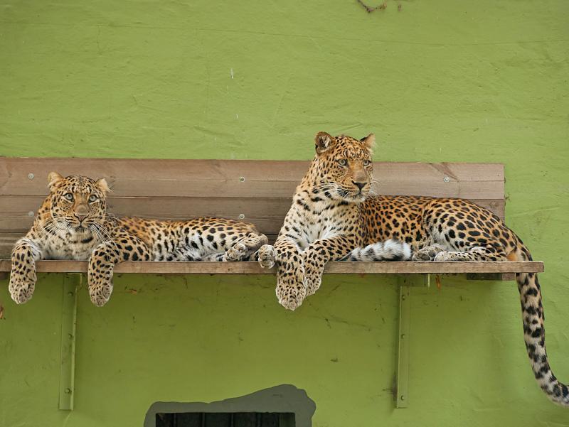 Frühlingsgefühle im Herbst: Leoparden-Pärchen aus China nun gemeinsam in Gehege